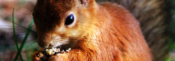 squirrel (da wikipedia, particolare)